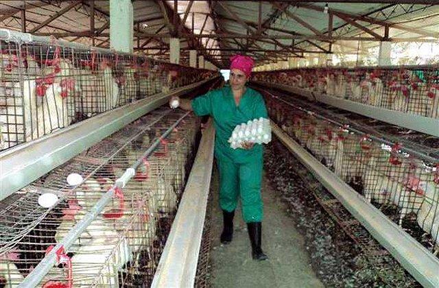 Buen inicio de cadena productiva sostiene resultados avícolas en Granma
