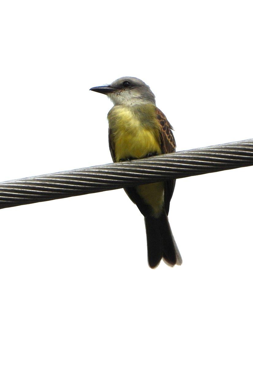 Tropical Kingbird in Panama City last week with @Nigelmarven<br>http://pic.twitter.com/sViN2VGyLK