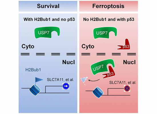 Su Chen and co-workers uncover a novel epigenetic regulatory mechanism for the control of #ferroptosis via H2B monoubiquitination and p53. #epigenetics #apoptosis #ubiquitin #chromatin   —> http://bit.ly/2QmvAYJ