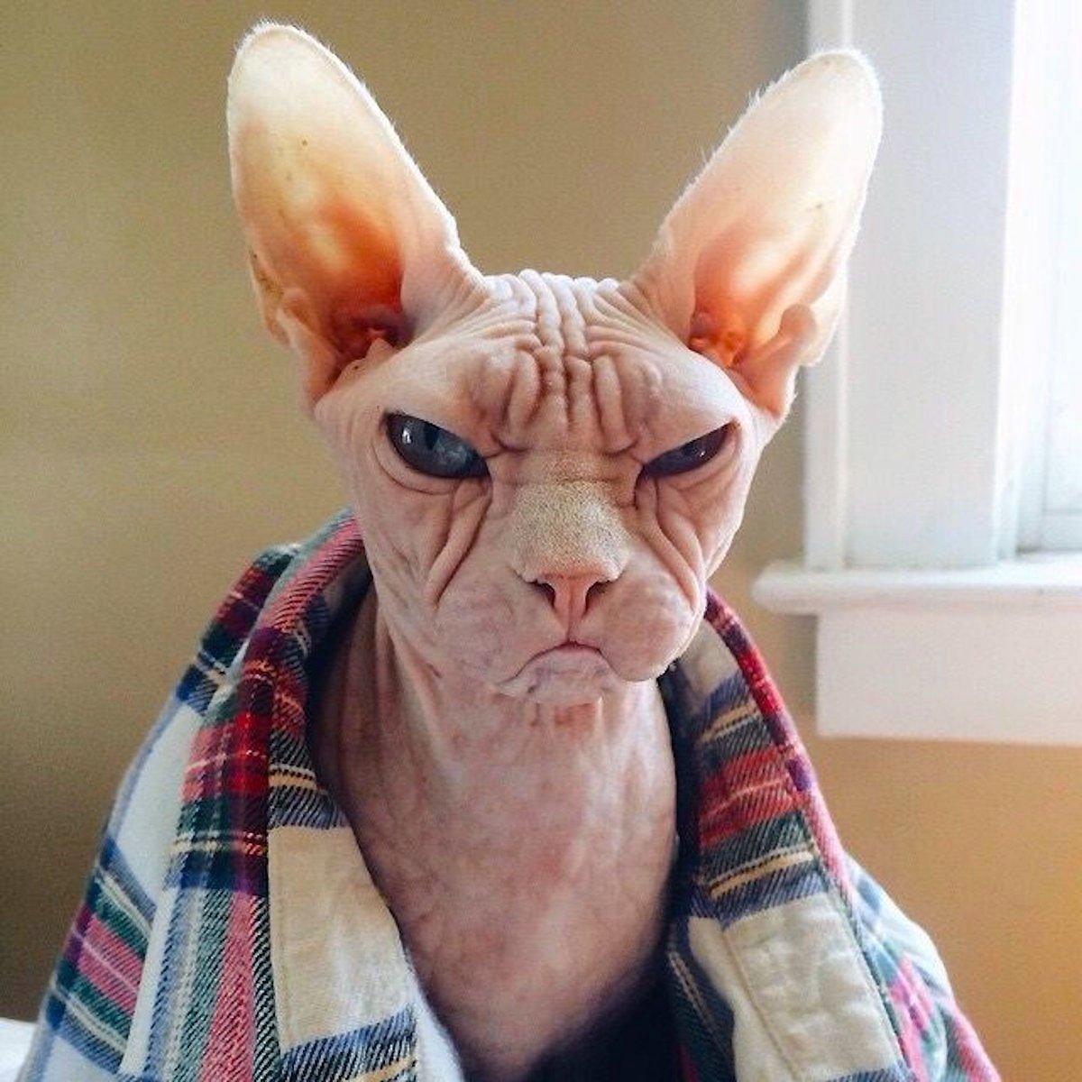 Животными, смешные картинки лысые кошки