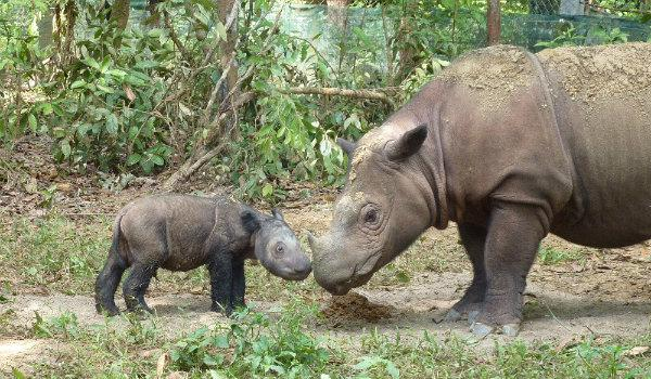 There are 81 Sumatran Rhino left in the world. They are functionally extinct in the wild. But they haven't given up. The last few rhino are being moved to a breeding preserve. Hopefully, in the future, they'll be reintroduced to the wild. It's come to this. #extinction is forever