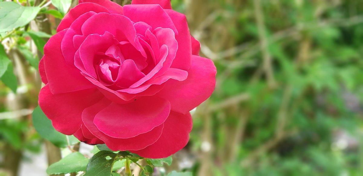 Bonjour #Twitter #FaisCommeArnaud #Flowers #roses @Btilloy @Arnaud_Manoury @annechamgor @cecilelaufer la même rose % 2 jours d'écart...