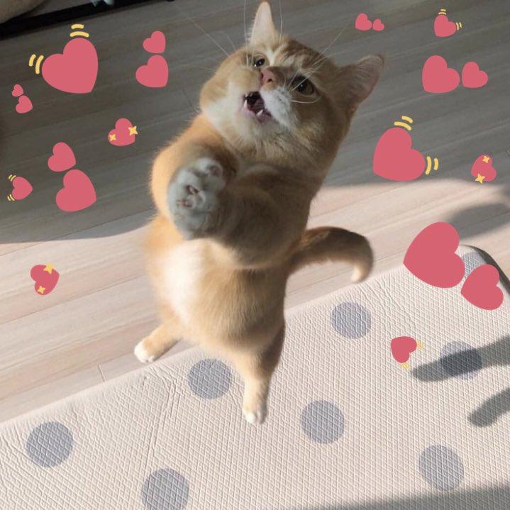 Download Screaming Cat Hearts Meme Png Gif Base