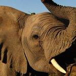 Image for the Tweet beginning: Botswana lifts ban on elephant