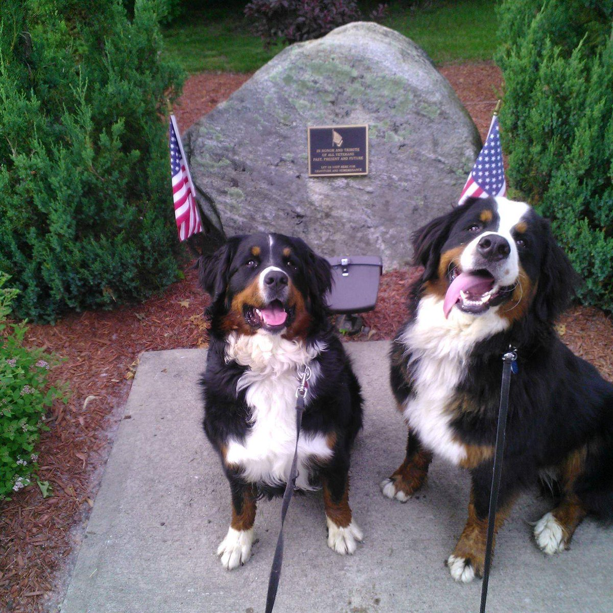 Summit Bernese Bears🏔️🐻 - @SummitBernese Twitter Profile and