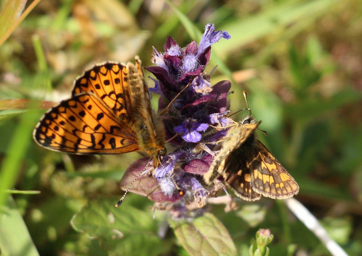 #SmallPearlBorderedFritillary & #ChequeredSkipper at #Glasdrum NNR @nature_scot @britbutterflies @ukbutterflies @WildlifeMag @Britnatureguide https://t.co/MqfDVBN7tu