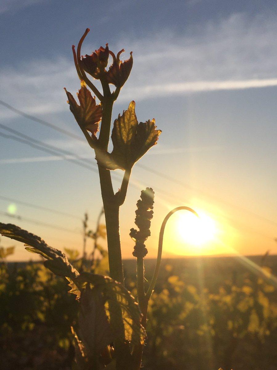 Hier, magnifique lever de soleil sur la récolte 2019!  Yesterday, a beautiful sunrise on the soon-to-be 2019 harvest!  #mercurey1ercru #closdesmyglands #monopole #bourgogne #côtechalonnaise #winelover #picoftheday #harvest2019 #vineyardpic.twitter.com/cO24993Wui