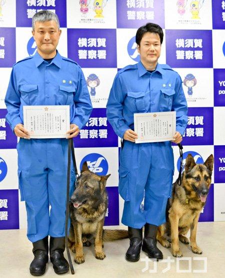 お手柄警察犬、行方不明の認知症女性発見❗️感謝状とご褒美派遣要請を受けた2匹は女性の枕のにおいを頼りに捜索。20分後しゃがみ込んでいる女性を見つけた。 #神奈川新聞 #警察犬 #感謝状 #横須賀市