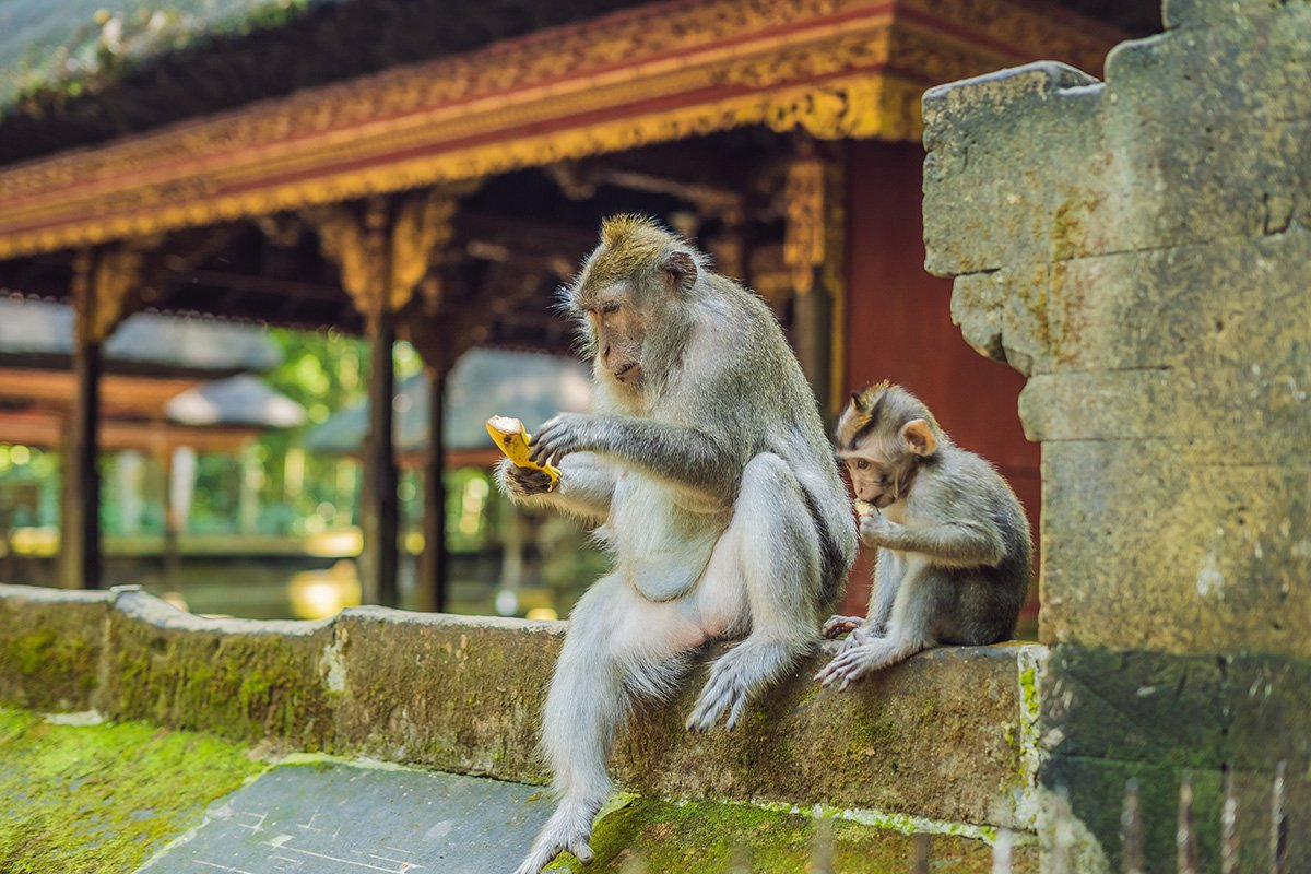 Lunchtime in Bali #swaindestinations #bali . . . . #indonesia #asia #monkeys #animals #babyanimals #travel #adventuretravel #luxurytravel #instatravel #travelgram #insidertravel