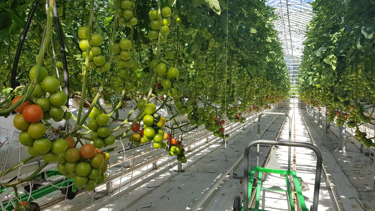 Tomatoes being grown in geothermally-heated greenhouses, with supplemental CO2 collected from underground used to optimise atmospheric conditions. Bumble bee boxes from the Netherlands! No pesticides needed.   A tonne harvested per day 🍅 #Fridheimar #Tomato #Soup #Iceland