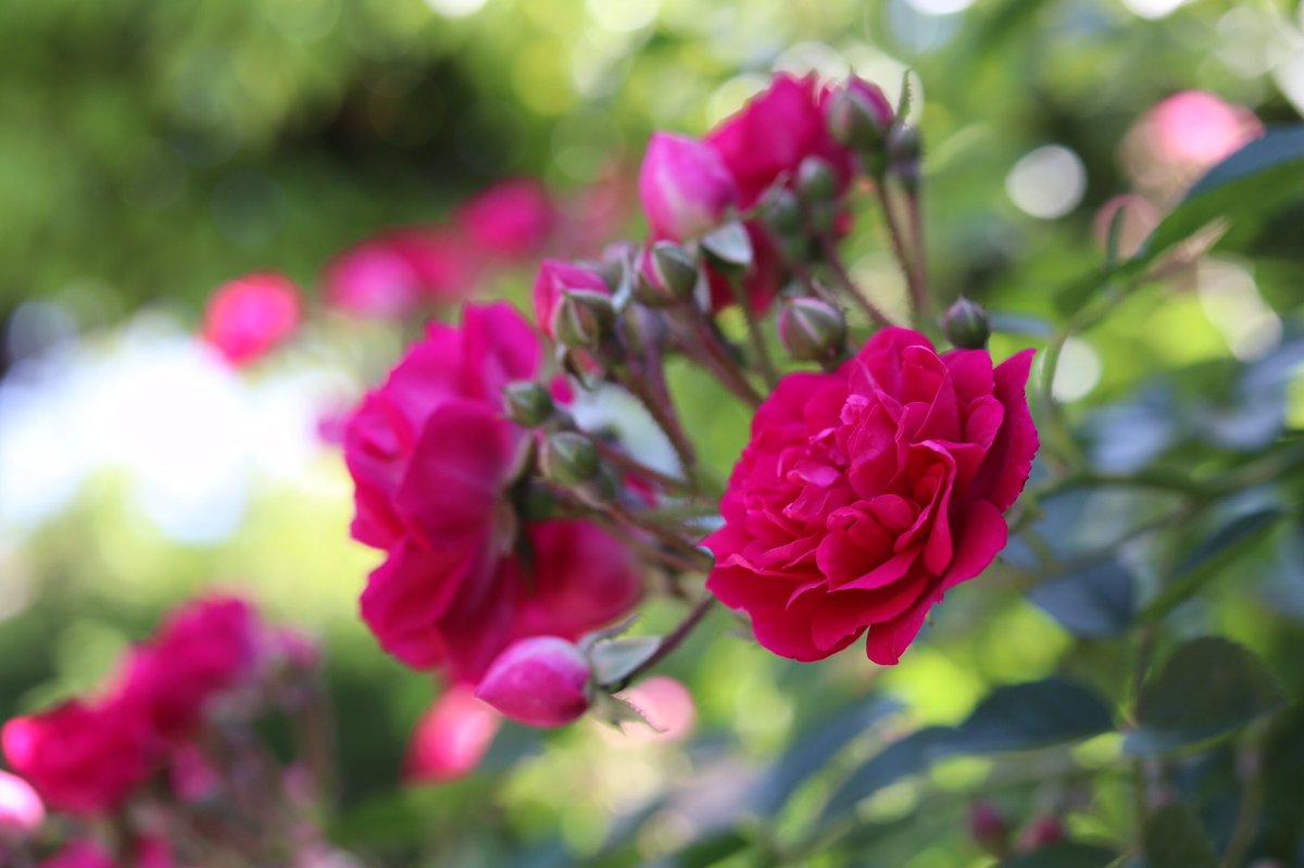 北側フェンスの遅咲きバラ 真夏日続きで急に満開。  つる赤房咲き #キングローズ 挿し木1年生も咲きました^_^  ご近所で交換した小さなピンクの #セントセシリア も北側地植え。  明日は雨になるそうだから、そろそろ見納め、名残惜しい。  #rose #inmygarden 23,25,27日