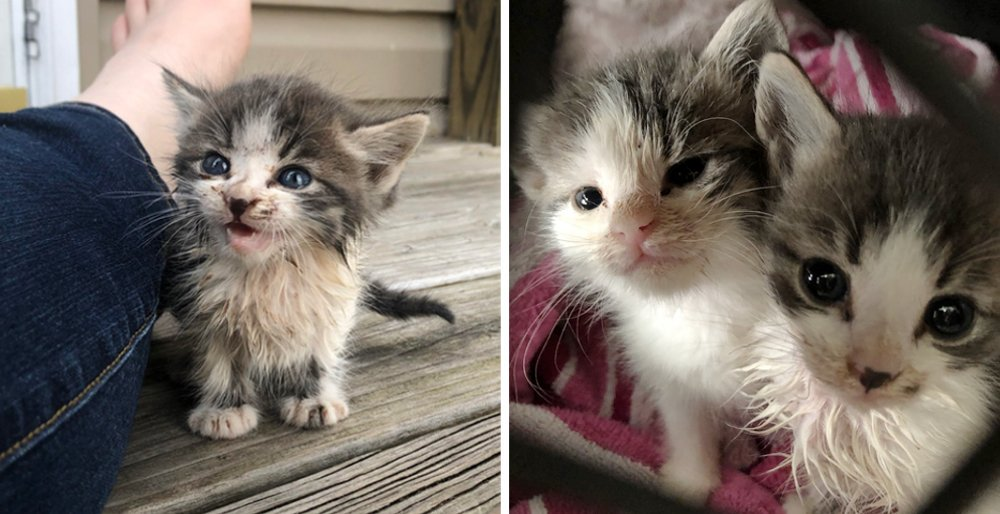 Stray kitten ran up to a couple meowing for help - he brought his sister with him. See full story and updates: lovemeow.com/kitten-stray-m…