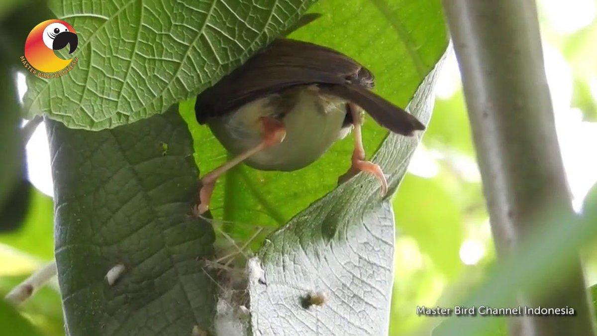 Lantip On Twitter Kalau Yang Masa Kecilnya Kenyang Plinthengan Pasti Tahu Sarang Burung Prenjak Daunnya Dijahit