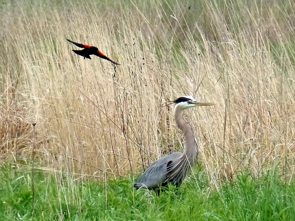 Sandhill Cranes In Epic Oak Grove >> Chicago Ornithological Society Chicago Birder Twitter