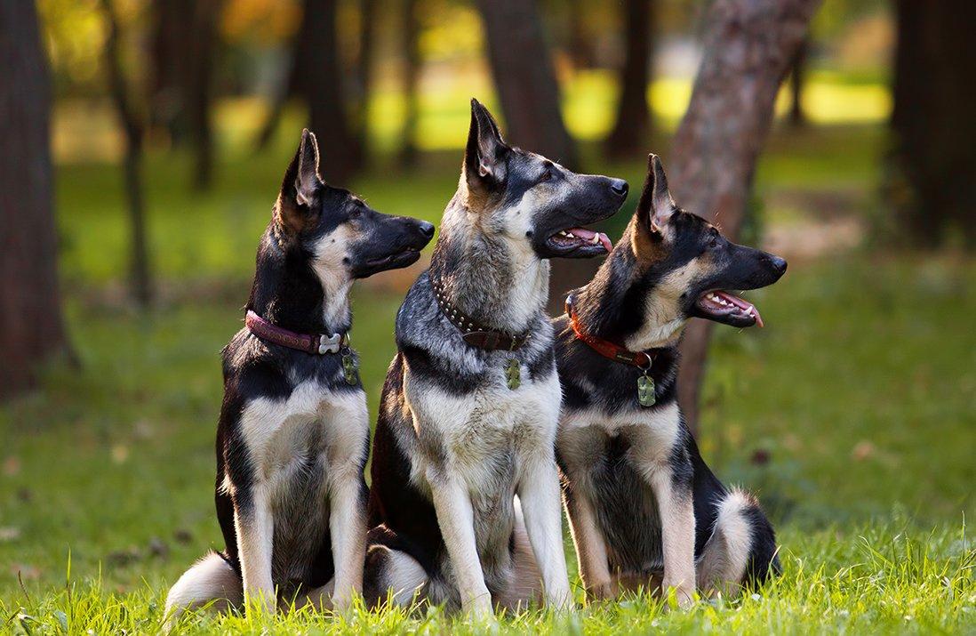 Картинки собак европейских овчарок