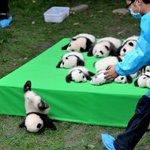 子パンダ達が可愛すぎてニュースの内容が全く入ってこない
