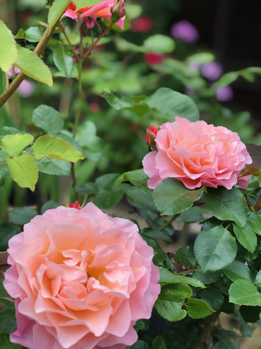 おはようございます!  たろ地方は雨です。最近の日照り続きでバラがすぐ水切れしてしまうので バークでマルチングしたらこんなに雨が💦💦😆  今年はなんだかウーメロもきれいに咲いてくれてます!