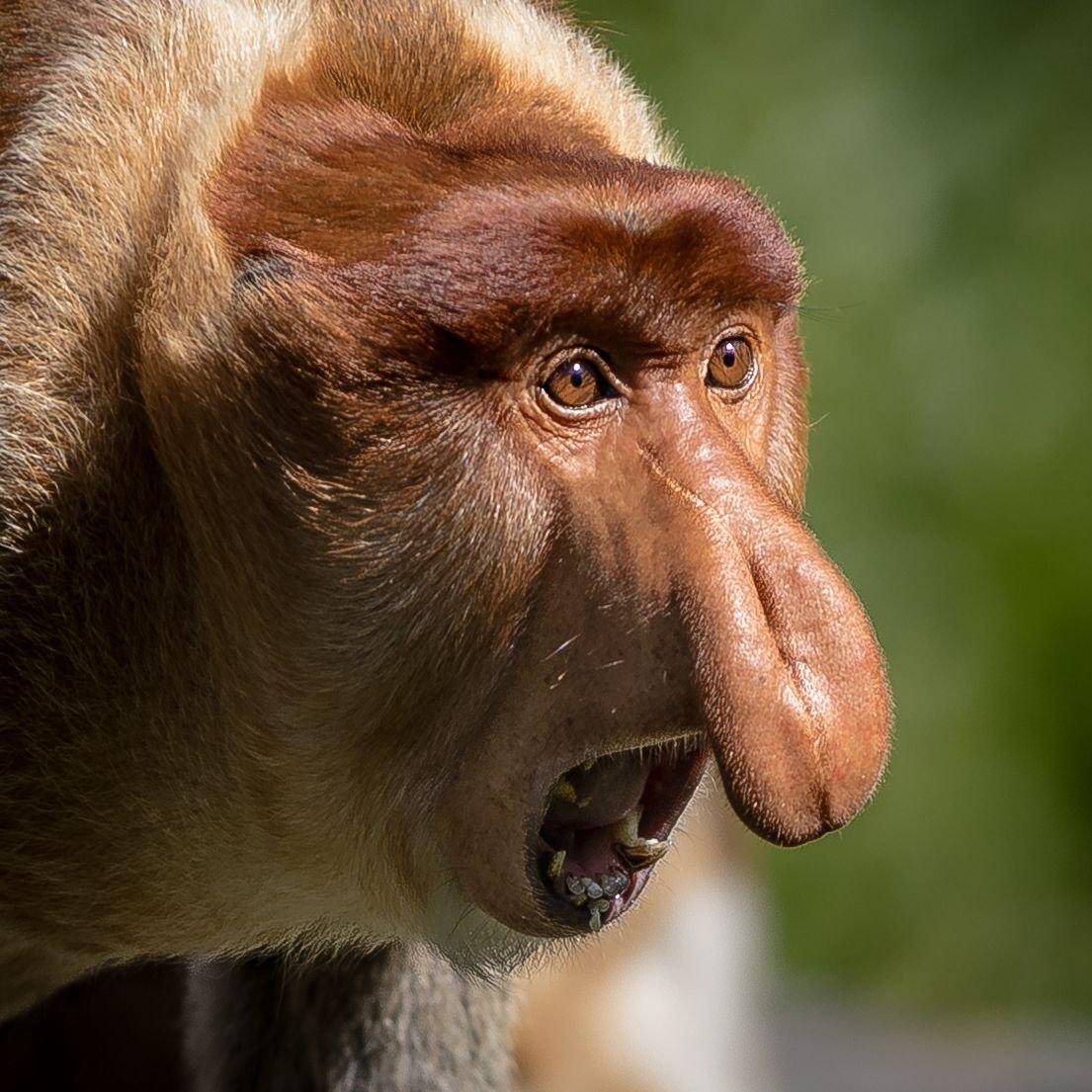 яблок картинки обезьян с длинным носом целом такое