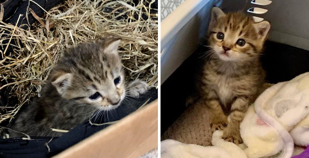 Shy kitten who was found hiding in hay, really comes around when he finds someone to love. See full story and updates: lovemeow.com/kitten-shy-bar…