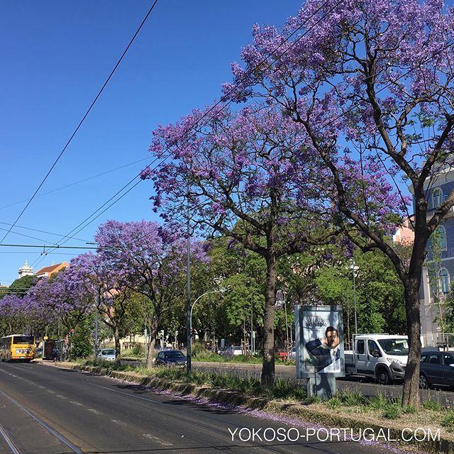 test ツイッターメディア - リスボン、カイス・ド・ソドレ地区、Avenida 24 de Julho 通りのジャカランダ並木。 #リスボン #ポルトガル #ジャカランダ https://t.co/iuEaM6241k