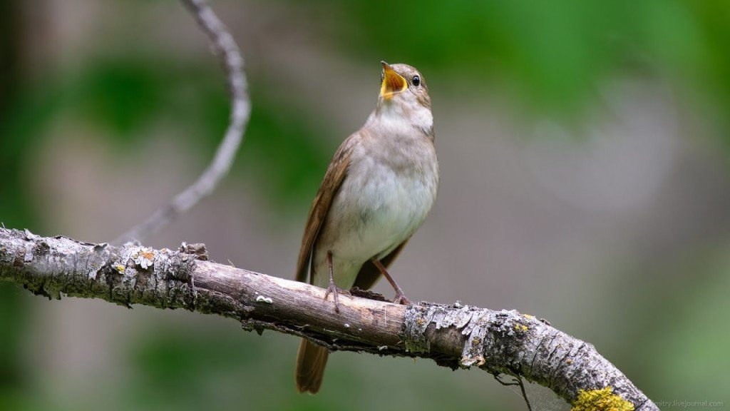 стройное фото какие птицы поют вечером в лесу правило, гравировка ангелов