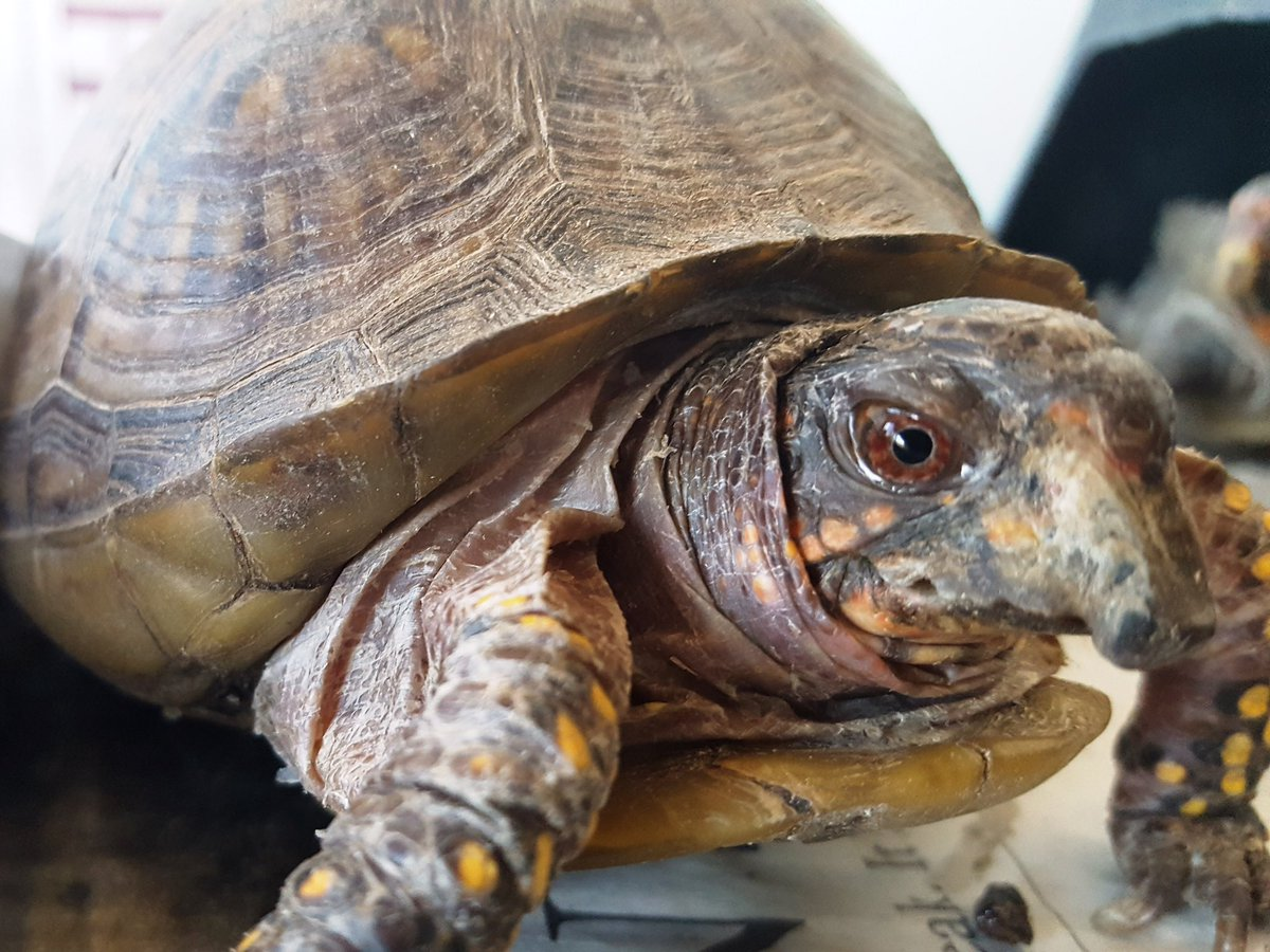 On World Turtle Day, we lost one of our very special turtles, Pigeon. She arrived at the rescue with an over-grown beak and nails. We cleaned her up and, and she enjoyed the rest of her life outdoors #turtletuesday.  https://www. gofundme.com/turtlestrong-m alibu-fire-relief  … <br>http://pic.twitter.com/fAaIw6d1hc