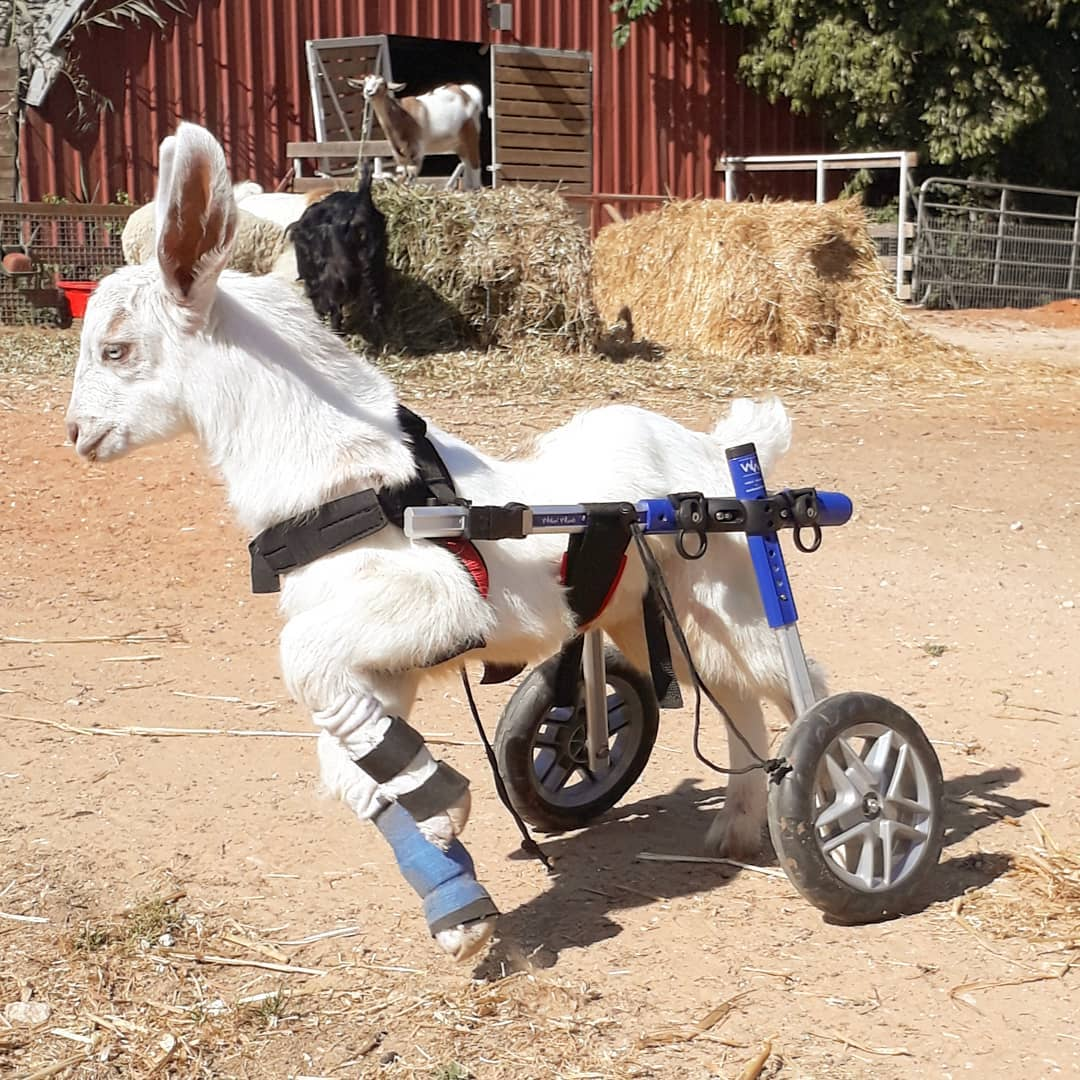 Look at me flying with my new splints! They help me walk properly and to strengthen my front legs. I still got a lot of work but I'm getting there! #WednesdayMorning #FriendsNotFood #GOVEGAN<br>http://pic.twitter.com/Wsf3SXzlOn