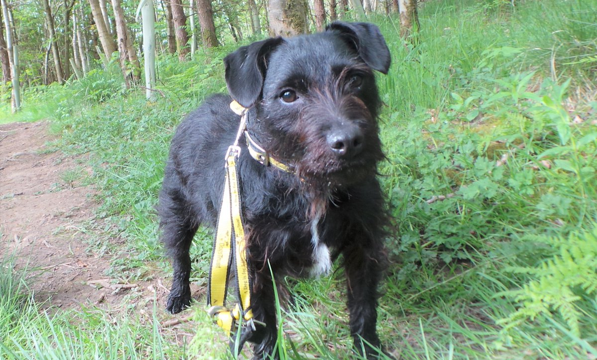 Happy #WednesdayMorning from Angus!  Angus is a Patterdale Terrier  He loves his food, playing with doggy friends and chasing after a ball Angus is a shy pooch in need of a calm and loving home  #rehome #adoptme #dogsoftwitter #AdoptDontShop #terrier @DogsTrust<br>http://pic.twitter.com/kj1zA8lLoV