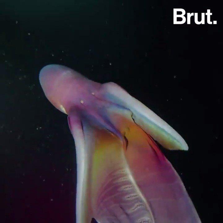 Le spectacle fascinant de cette pieuvre a été filmé au large des Philippines… 🌈