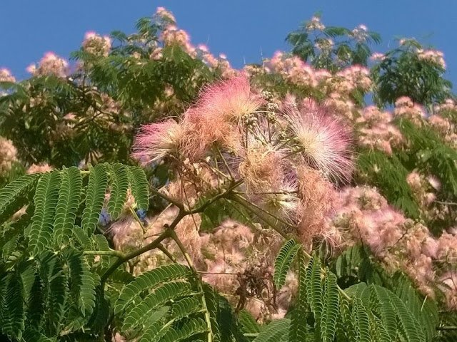 How to Grow Albizia Tree ? ilgustodellanatura-blog.blogspot.com/2016/07/albizi…