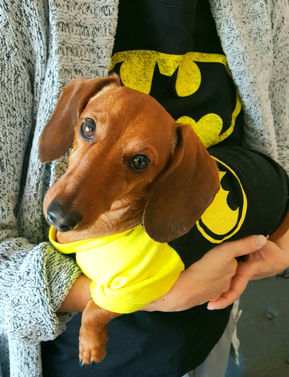 Dey say schometimes doggies n deir pawrents wook awike. Do you? What do you haves in common wif your pawrents? Mummy n I both have long upper torsos wif schtubby wittle wegs!!  #dogs #dachshund #twins #wednesdaythoughts <br>http://pic.twitter.com/QStWkaIZRL