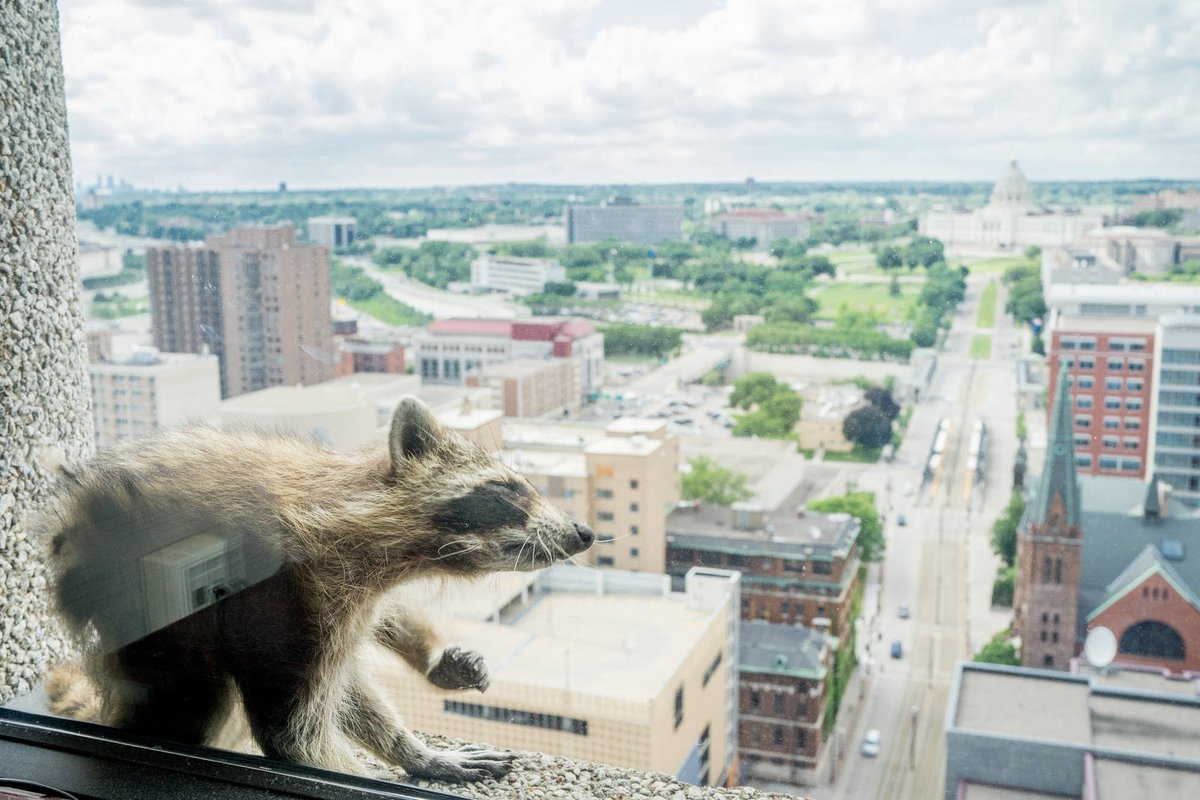 The first time I saw the #mprraccoon, I thought it was a dead cat. Thankfully, that was not the end of the story. Remembering our raccoon friend, one year later:  https://www. mprnews.org/story/2019/06/ 12/mprraccoon-where-were-you-a-year-ago  … <br>http://pic.twitter.com/vRc2Xlps7h