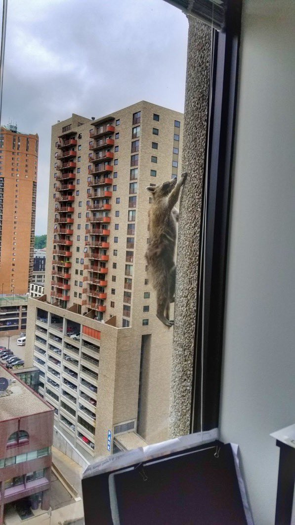 One year ago the nation was captivated by a raccoon climbing a building in Minnesota. He was eventually rescued safely. #mprraccoon <br>http://pic.twitter.com/BMbI0Sq9Mm