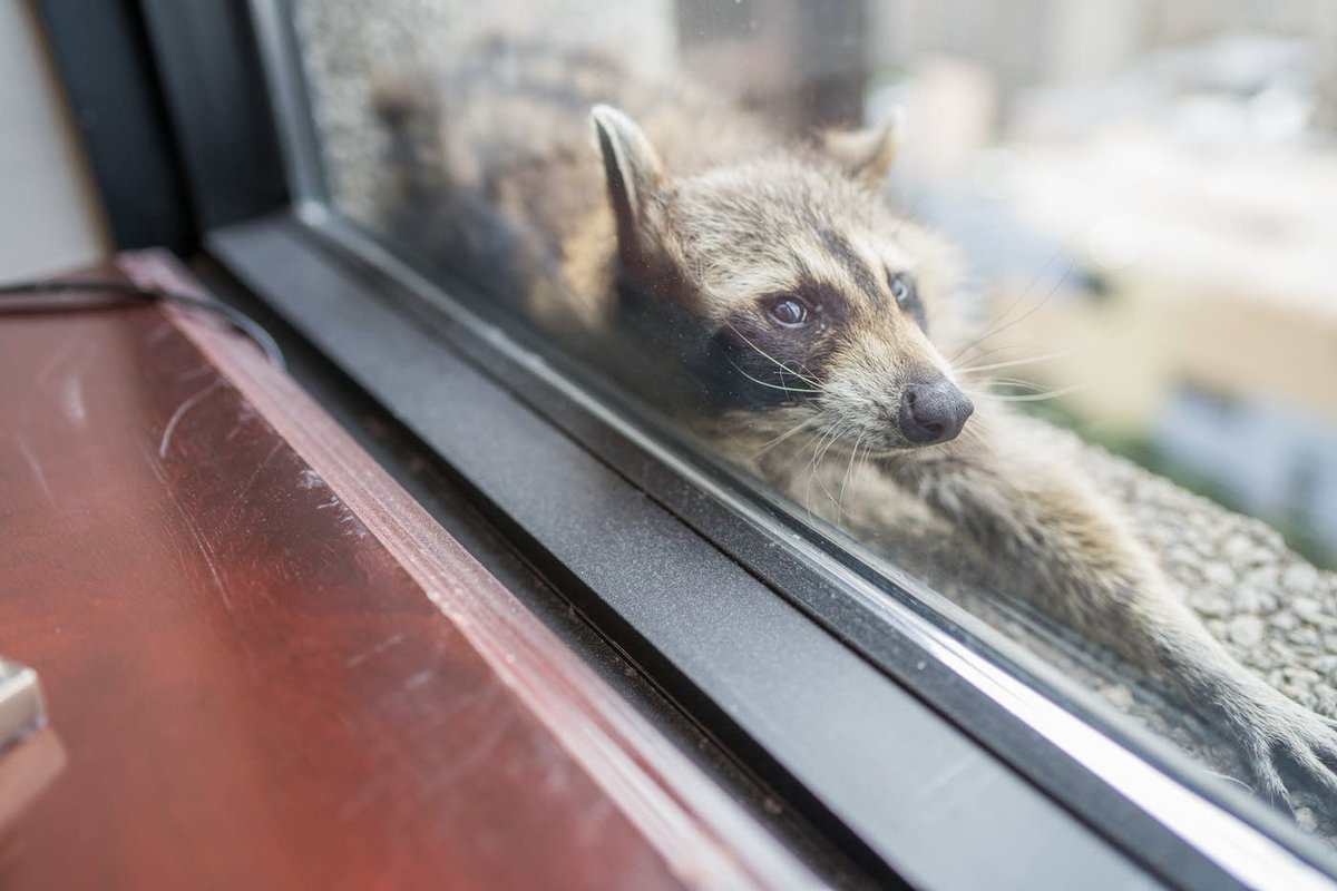 Remember the #mprraccoon? If you can believe it, it's been one year since she briefly united us. (You can find the original story here:  https://www. mprnews.org/story/2018/06/ 12/st-paul-raccoon-scales-skyscraper-social-media-star  … ) <br>http://pic.twitter.com/P4Ao2GOhut