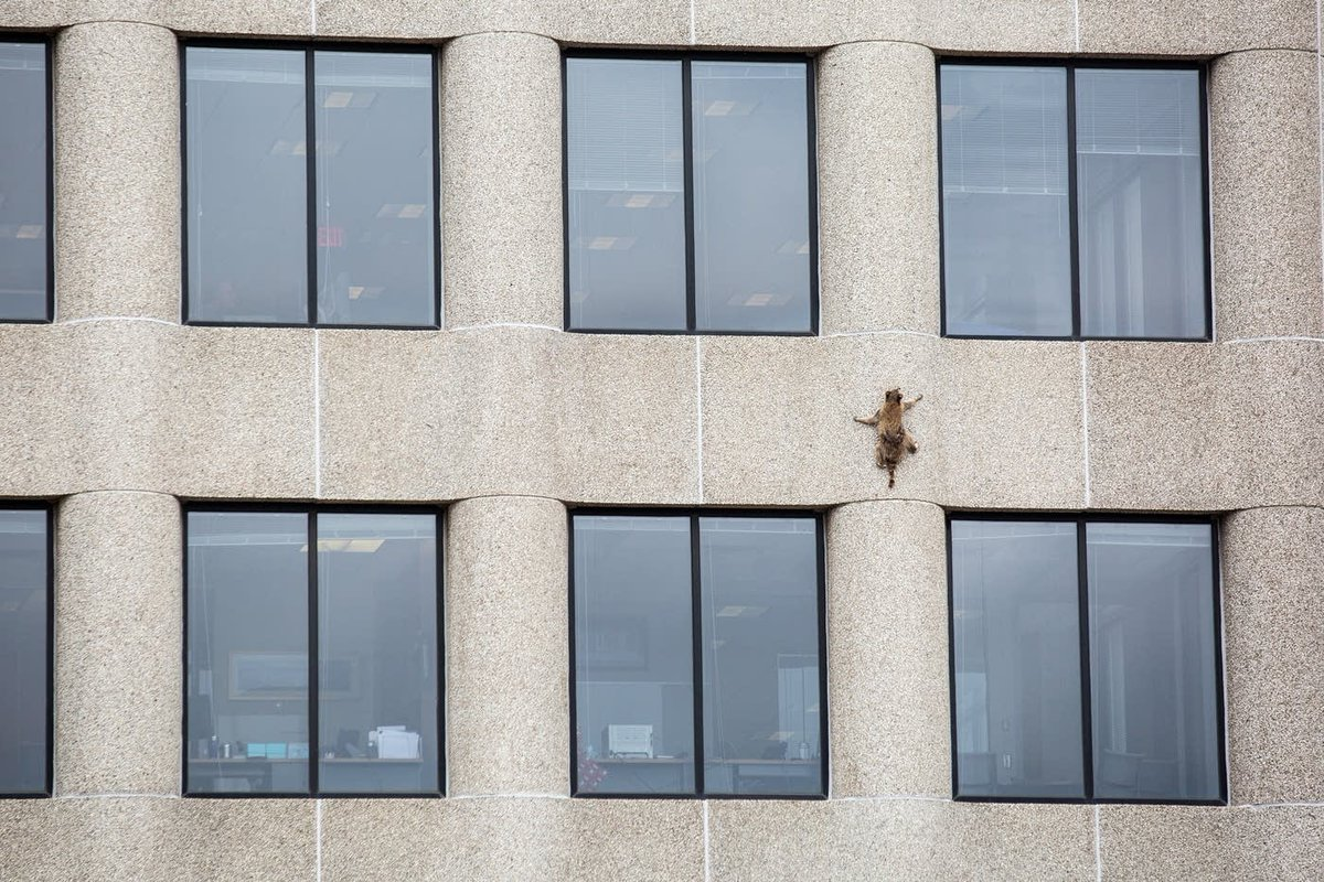 No, the #mprraccoon didn't climb up the MPR building (she scaled UBS Plaza across the street) but we staffers branded her the #mprraccoon anyway because we were among the first to document her adventure. <br>http://pic.twitter.com/kbUmP42FvZ