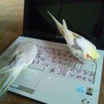 インコにキーボード荒らされた!もう打てないじゃん…