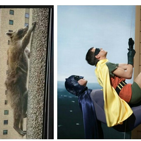 A year ago today, the world was glued to the scaling abilities of this little guy on the left with the same enthusiasm of a child of the 60's watching the little guys on the right scale a Gotham building #MPRRaccoon #OneYearAnniversary<br>http://pic.twitter.com/2BUeTtH6Lc