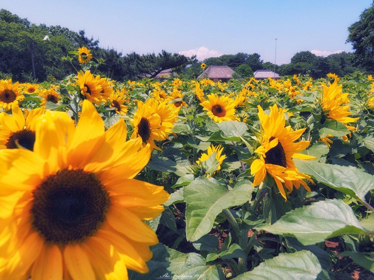 あじさいはちょっと一休み。 今日は夏っぽく向日葵を撮りにひたち海浜公園へ。  prefecture:ibaraki location:hitachikaihinpark camera:OLYMPUS  OMD-EM1 lens:ZUIKO DIGITAL ED 7〜14mm  F4.0+MMF-3 shooting mode:normal day:2019/6/13 title:咲き乱れる向日葵
