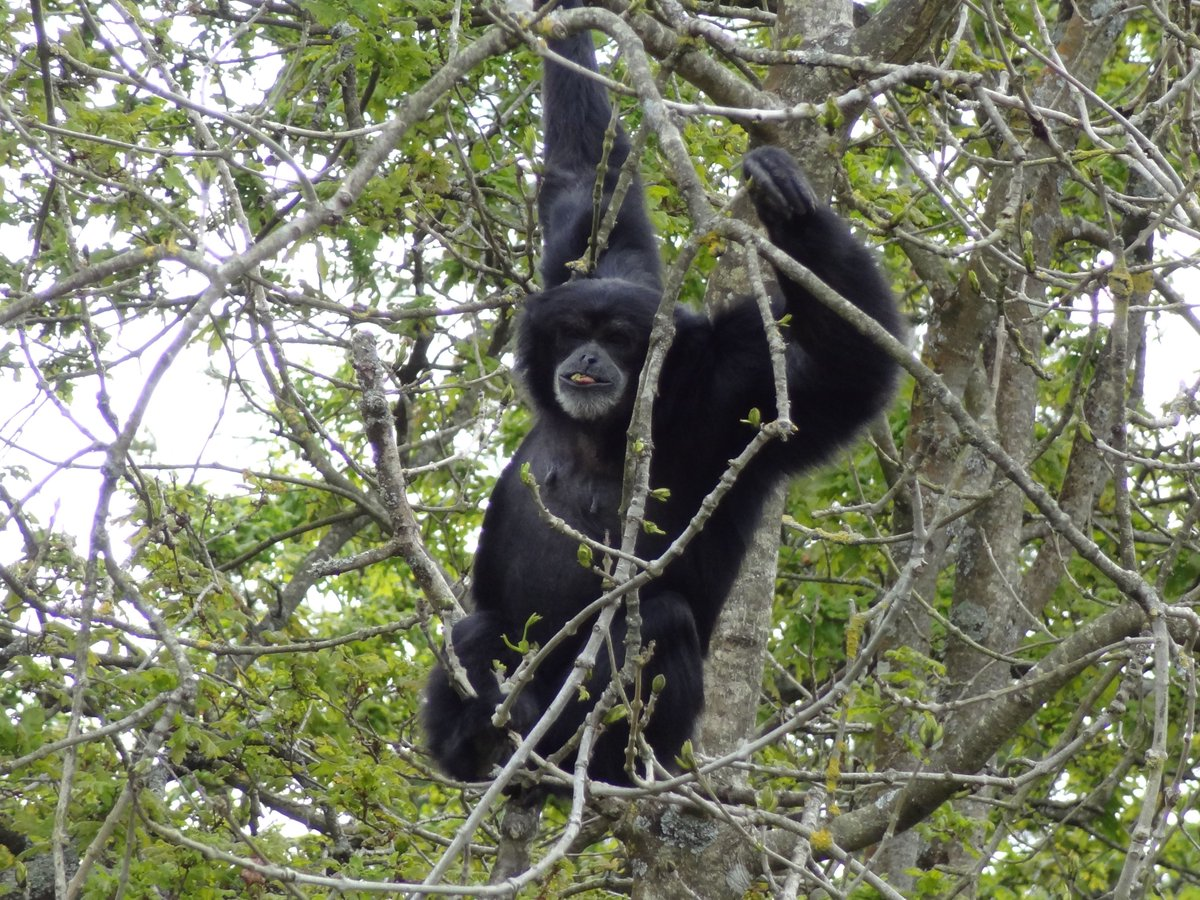 Siamang gibbon Sasak is tucking into the spring buds on the tree- the great thing about them having such large, natural enclosures!   Ella took this one when she visited in April :)<br>http://pic.twitter.com/aCs7GiphZE