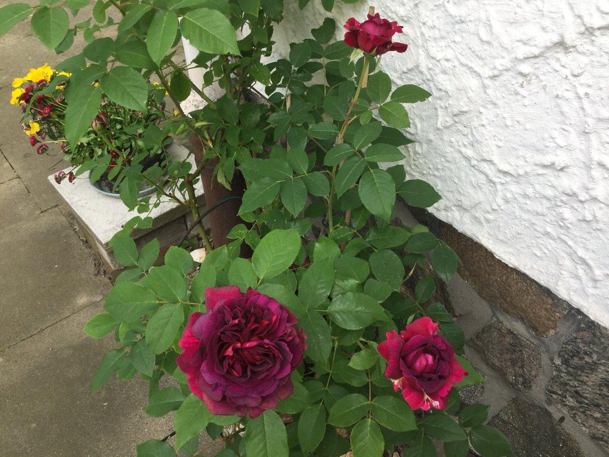 rose william shakespeare