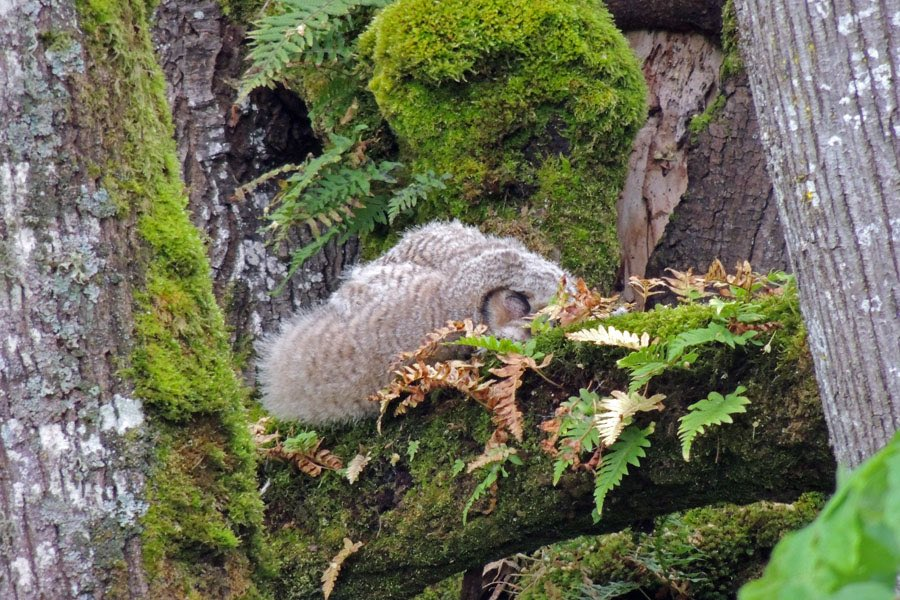 Mika Mckinnon On Twitter I Haven T Found The Original Source For This Pic But It S Also Suggests Owls Sometimes Sleep Laying Down Although I Haven T Found Any Other Ground Face Plants Or Science