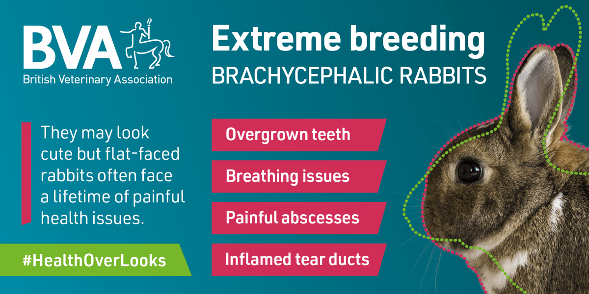 Rabbits breathe through their nose so those with 'flat faces' often have severely restricted airways. They can also suffer with painful dental issues. We would always urge potential owners to choose #healthoverlooks. @rabbitawareness #BreedtoBreathe #RabbitAwarenessWeek