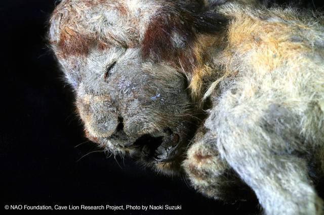【凄い】3万年前のライオンが氷漬けで発見される 日露の共同研究チームがシベリアの永久凍土から、ホラアナライオンの赤ちゃんとオオカミの頭部を氷漬けの状態で発見。約3万年前の個体で、表情が分かるほど『奇跡的に良好』な保存状態だという。