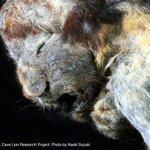 シベリア/3万年前のライオンが氷漬けで発見される
