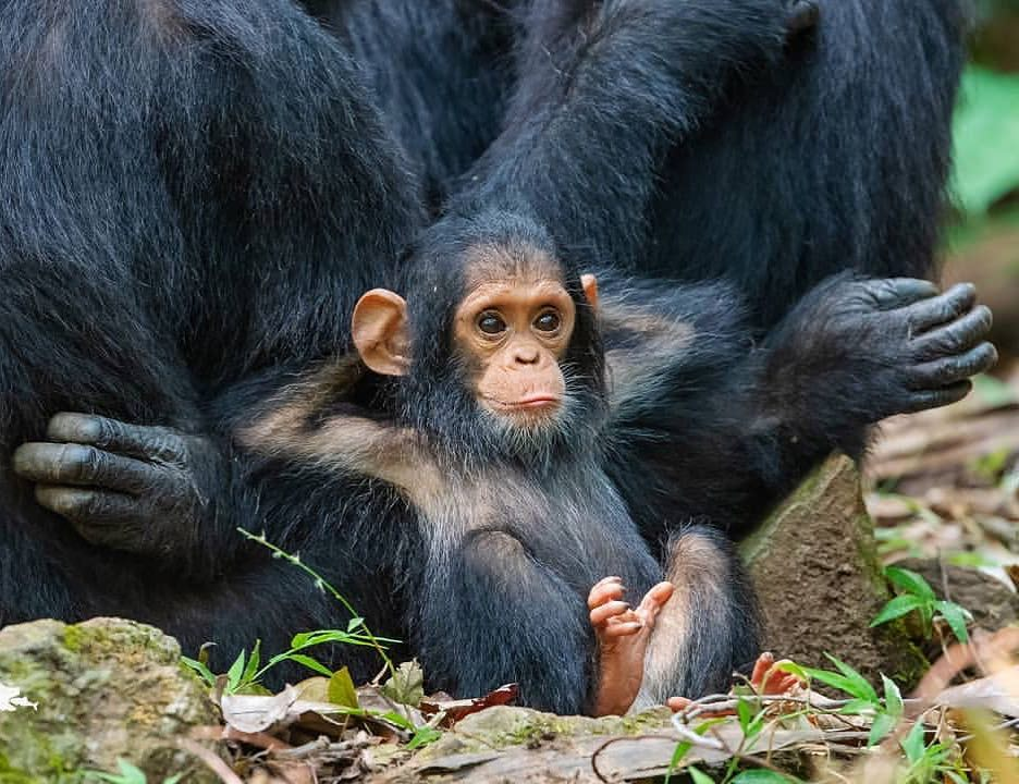 Chilaxing chimp 🐒 Photo by @thomasdmangelsen https://t.co/j1EQAoqFxv