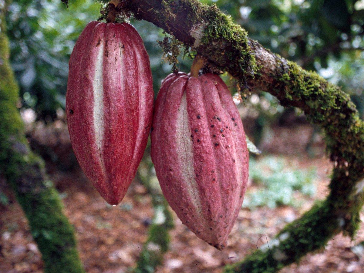 What's about cacao's tree ? ilgustodellanatura-blog.blogspot.com/2016/07/dove-c…