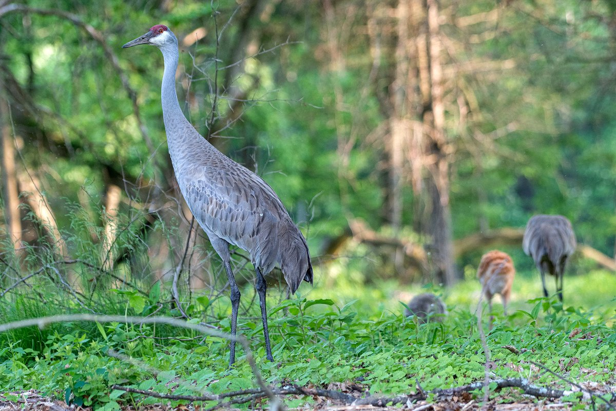 Sandhill Crane Family With Adopted Gosling Jocelyn >> Jocelyn Anderson Photography On Twitter The Sandhill Crane