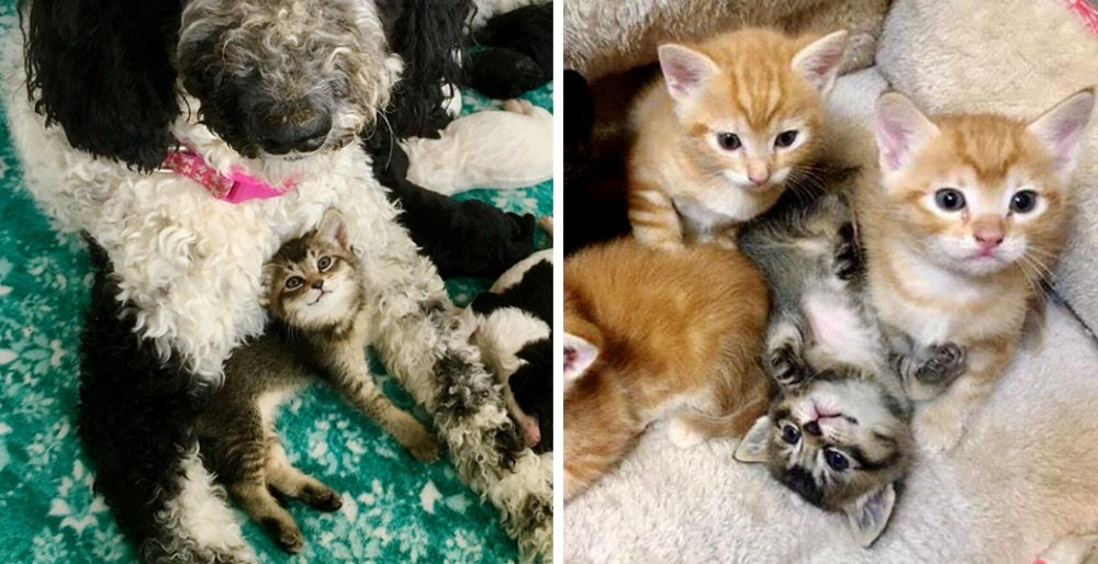 Kitten was found in an alley as an orphan - a cat and dog took turns to be her mom. See full story and updates: lovemeow.com/kitten-orphan-…
