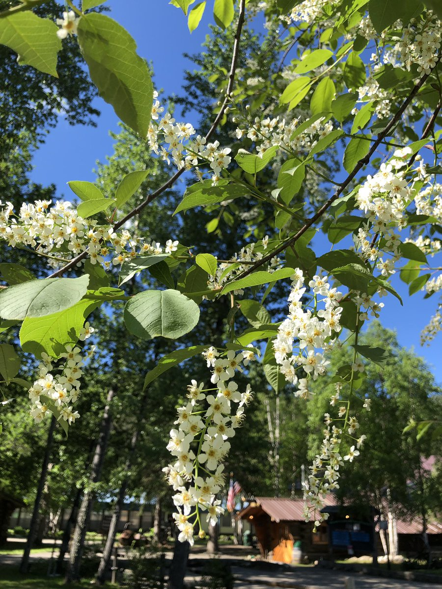 チナ温泉リゾートのチョークチェリーの花も、もうすぐ終わりそうですが、まだいい香りがしています。内陸アラスカの短い夏が始まっています! #チナ温泉リゾート #アラスカ #フェアバンクス #夏 #チョークチェリー #花 #温泉 #chenahotsprings #alaska #Fairbanks #flower #summer https://t.co/A6vQ04eMIB