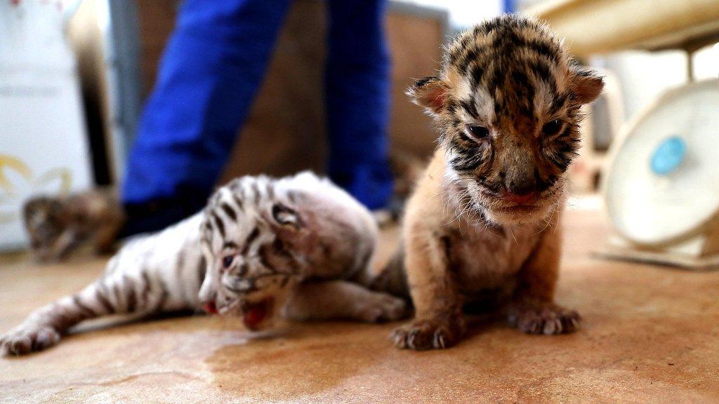 Картинка тиграми не рождаются
